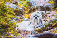 Shih-tzu pies Zdjęcie Royalty Free