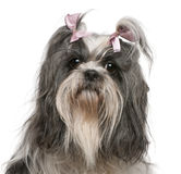 Shih Tzu with pink bows in hair, 4 years old. In front of white background stock photo