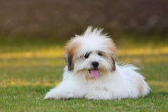 Shih Tzu. Playing happily in the grass royalty free stock photo