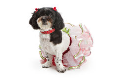 Shih Tzu - Poodle Dog in Christmas Outfit Royalty Free Stock Images