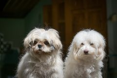 Shih Tzu and Poodle dogs. stock photography