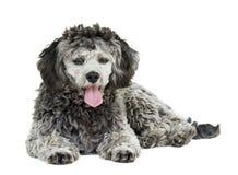 Shih tzu poodle mixed Stock Images