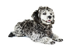 Shih tzu poodle mixed Royalty Free Stock Photo