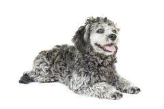 Shih tzu poodle mixed Stock Photos