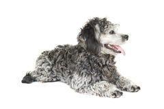 Shih tzu poodle mixed Royalty Free Stock Photos