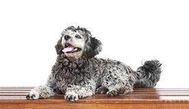 Shih tzu poodle mixed Royalty Free Stock Photography
