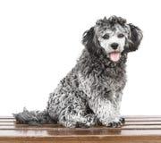 Shih tzu poodle mixed Royalty Free Stock Image