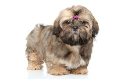 Shih tzu portrait on white background Stock Photos