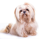 Shih Tzu. Pretty young shih tzu on a white background royalty free stock image