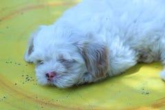 Shih tzu psa lying on the beach na trawa jardzie Obrazy Stock