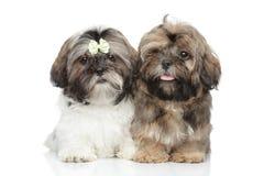 Shih-tzu puppies Stock Photo