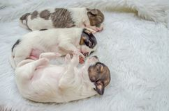 Shih Tzu puppies are sleeping on white fur. stock photo