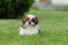 Shih Tzu puppy. Lying in grass Stock Photo