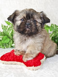 Shih-Tzu Puppy. With red dog toy stock images