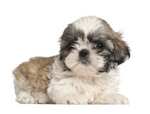 Shih Tzu puppy, 2 months old, lying Stock Photography