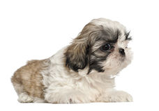 Shih Tzu puppy, 2 months old, lying Royalty Free Stock Photos