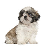Shih Tzu puppy, 2 months old, sitting Stock Photos