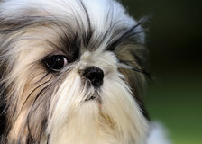 Shih Tzu puppy Royalty Free Stock Image