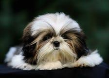 Shih Tzu puppy stock photo