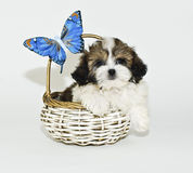 Shih-Tzu Puppy Royalty Free Stock Photography
