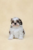 Shih tzu puppy. On yellow background stock image