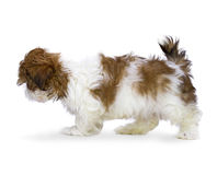 Shih-Tzu Puppy Stock Image