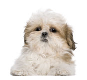 Shih Tzu puppy, 3 months old, lying Royalty Free Stock Image
