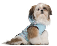 Shih Tzu puppy, 5 months old Stock Photos
