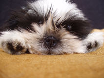Shih tzu puppy Royalty Free Stock Images