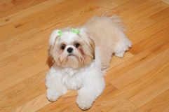 Shih Tzu Puppy royalty free stock photo