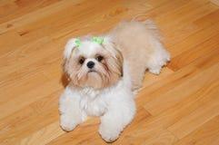 Shih Tzu Puppy Royalty Free Stock Photo