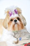 Shih Tzu Puppy Royalty Free Stock Image