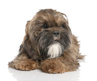 Shih Tzu puppy (6 months old) Royalty Free Stock Photo