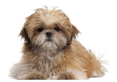 Shih-tzu puppy, 6 months old, lying Royalty Free Stock Image