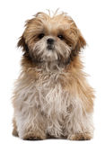 Shih-tzu puppy, 6 months old, sitting Stock Photography