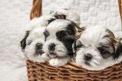 Shih tzu puppy in the basket Royalty Free Stock Photo