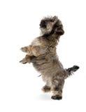 Shih tzu puppy begging Stock Photos
