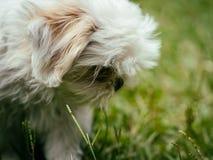 Shih Tzu Puppy branco bonito imagens de stock