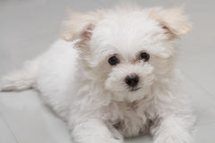 Shih tzu puppy breed tiny dog. Playfulness , loveliness Royalty Free Stock Image