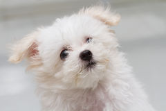 Shih tzu puppy breed tiny dog. Playfulness , loveliness Stock Photography
