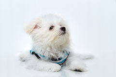 Shih-tzu puppy breed tiny dog. Playfulness , loveliness Stock Photography