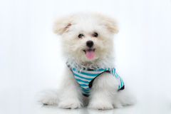 Shih-tzu puppy breed tiny dog. Playfulness , loveliness Royalty Free Stock Image