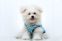 Shih-tzu puppy breed tiny dog. Playfulness , loveliness Royalty Free Stock Images