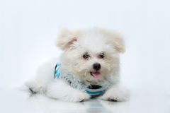 Shih-tzu puppy breed tiny dog. Playfulness , loveliness Royalty Free Stock Photography