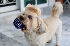 Shih Tzu puppy carrying blue ball Royalty Free Stock Photo