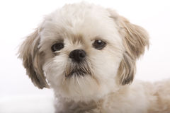 Shih tzu puppy closeup. Closeup of the face of a Shih Tzu puppy isolated against white background stock photos
