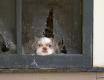 Shih Tzu Puppy Daydreams Of Escaping Thru Screen. Shih Tzu puppy lies patiently awaiting the right time to break through the screen door he chewed up in planning royalty free stock photography