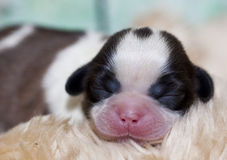 Shih Tzu puppy dog Stock Images