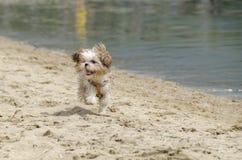 Shih Tzu Puppy - Shih Tzu Dog Breed. Shih Tzu Puppy running - Shih Tzu Dog Breed royalty free stock images