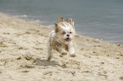 Shih Tzu puppy running. Shih Tzu Dog Breed royalty free stock photos